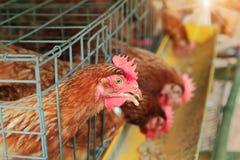 Fermez-vous des poules brunes, en alimentant des poulets dans la ferme industrielle de cage dans la campagne images libres de droits