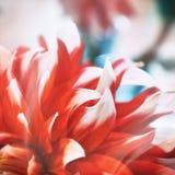 Fermez-vous des pétales roses de fleur d'aster Images stock