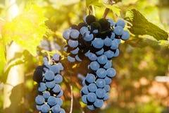 Fermez-vous des raisins de vin rouge accrochant sur la vigne pendant l'après-midi photos libres de droits