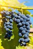 Fermez-vous des raisins de vin rouge accrochant sur la vigne pendant l'après-midi Photo stock