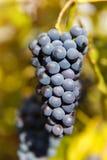 Fermez-vous des raisins de vin rouge accrochant sur la vigne pendant l'après-midi Photos stock