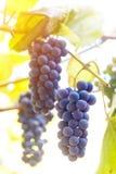 Fermez-vous des raisins de vin rouge accrochant sur la vigne pendant l'après-midi images stock