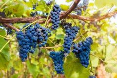 Fermez-vous des raisins de vin rouge accrochant sur la vigne pendant l'après-midi photographie stock