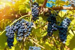 Fermez-vous des raisins de vin rouge accrochant sur la vigne pendant l'après-midi Images libres de droits