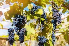 Fermez-vous des raisins de vin rouge accrochant sur la vigne pendant l'après-midi image stock