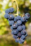 Fermez-vous des raisins de vin rouge accrochant sur la vigne pendant l'après-midi photographie stock libre de droits