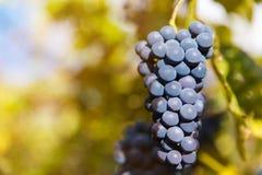 Fermez-vous des raisins de vin rouge accrochant sur la vigne pendant l'après-midi image libre de droits