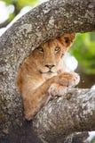 Fermez-vous des repos d'un lion dans l'arbre Images libres de droits