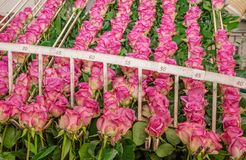 Fermez-vous des roses roses dans une rangée pendant d'une structure métallique à l'intérieur d'une usine de fleur située dans l'E Image stock