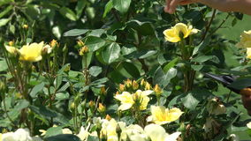 Fermez-vous des roses jaunes d'élagage de mains avec des cisaillements banque de vidéos