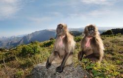Fermez-vous des singes de Gelada se reposant dans les montagnes photo libre de droits