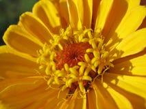 Fermez-vous des stamens jaunes de zinnia Photo stock