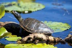 Fermez-vous des tortues peintes sur le secteur de conservation de Pelee de point, dessus Photo libre de droits