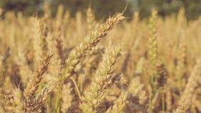 Fermez-vous des transitoires d'or sèches de blé prêtes à être rassemblé Mouvement lent Le chariot bourdonnent dedans mouvement Co banque de vidéos