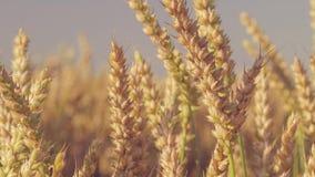 Fermez-vous des transitoires d'or sèches de blé prêtes à être rassemblé Mouvement lent Le chariot bourdonnent dedans mouvement banque de vidéos