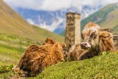 Fermez-vous des vaches dans Ushguli, Svaneti supérieur, la Géorgie, l'Europe image libre de droits