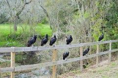 Fermez-vous des vautours se reposant sur la barrière Images libres de droits