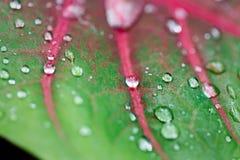 Fermez-vous des veines roses sur une feuille verte avec les gouttes de pluie de scintillement Photos stock