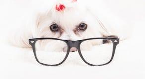 Fermez-vous des verres de lecture de port de frise de bichon Photo stock