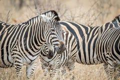 Fermez-vous des zèbres dans la haute herbe photo libre de droits