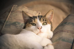 Fermez-vous du beau chat de calicot Photo stock
