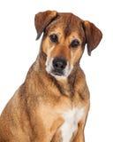 Fermez-vous du beau grand chien mélangé de race Images stock