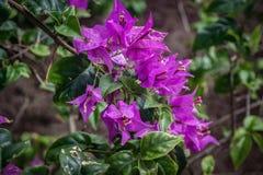 Fermez-vous du beau groupe de fleurs tropicales pourpres images stock