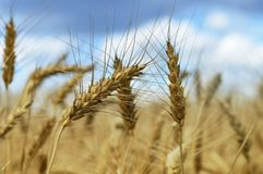 Fermez-vous du blé pendant l'été Photographie stock libre de droits