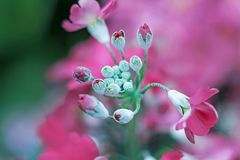 Fermez-vous du bourgeon floral rose de floraison Images stock