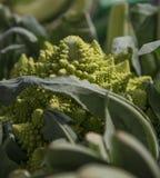 Fermez-vous du brocoli de romanesco photos stock