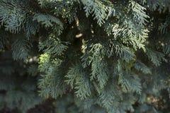 Fermez-vous du buisson de cèdre blanc, presque gris en couleurs en Suède photos stock