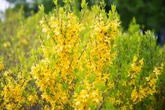 fleurs jaunes fleur de buisson de forsythia dans le jardin dans le printemps image libre de. Black Bedroom Furniture Sets. Home Design Ideas