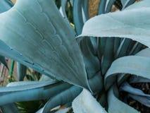 Fermez-vous du cactus avec de grosses feuilles et épines courtes image libre de droits