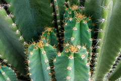 Fermez-vous du cactus avec de longues épines Images libres de droits