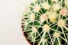 Fermez-vous du cactus formé par globe avec des épines Photo stock