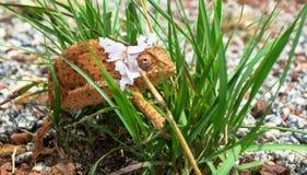 Fermez-vous du caméléon de Brown Flapnecked - dilepis de chamaeleo sur l'herbe verte photographie stock