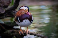 Fermez-vous du canard de mandarine photo libre de droits