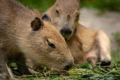 Fermez-vous du Capybara de bébé mangeant des feuilles photos libres de droits