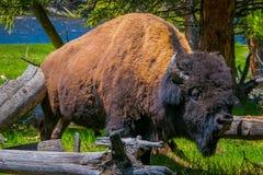 Fermez-vous du centre de selecti8ve du beau mais dangereux Américain Bison Buffalo à l'intérieur de la forêt dans le ressortissan Image libre de droits