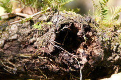 Fermez-vous du chêne de trou de noeud Image libre de droits