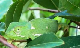 Fermez-vous du chamaleon Aileron-étranglé vert de caméléon entre les feuilles vertes photographie stock libre de droits