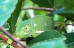 Fermez-vous du chamaleon Aileron-étranglé vert de caméléon entre les feuilles vertes photo libre de droits