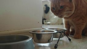 Fermez-vous du chat britannique rouge mange de la cuvette en métal banque de vidéos