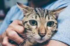 Fermez-vous du chat principal avec de grands yeux sur le bras du ` s de femme Image stock