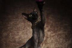 Fermez-vous du chat utilisant le collier d'or jouant avec l'énigme photos libres de droits