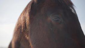Fermez-vous du cheval brun que le museau respirant exhale un nuage de vapeur dehors Bel animal de pur sang Concept de clips vidéos