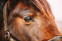 Fermez-vous du cheval de baie Arabe Images libres de droits