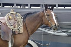Fermez-vous du cheval de pur sang de baie avec la selle occidentale photos stock