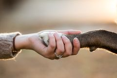 Fermez-vous du chien serrant la main à son propriétaire féminin image libre de droits