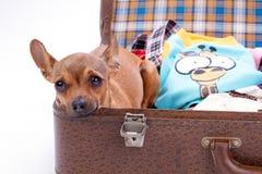 Fermez-vous du chiwawa dans la valise de voyage Image stock